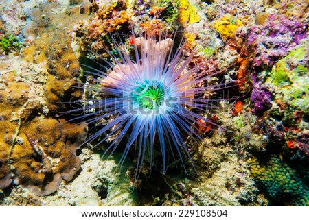 The tentacles of a Cerianthid tube anemone glow fluorescent at night. Fluorescent proteins in the anemone's tentacles get excited by ultraviolet and blue wavelengths of light. - stock photo