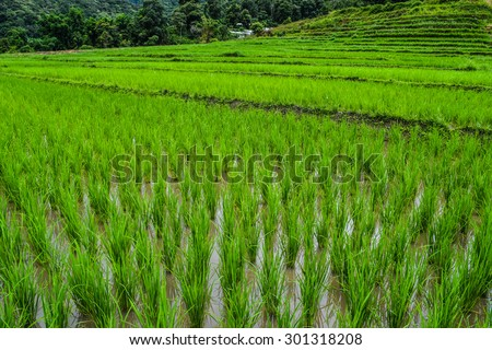 The terraced rice fields, This rice fields it is a methods of farming at North of Thailand. - stock photo