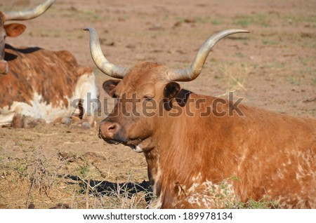 The Texas Longhorn is a breed of cattle known for its characteristic horns, which can extend to 7 ft (2.1 m)[1] tip to tip for steers and exceptional cows. - stock photo