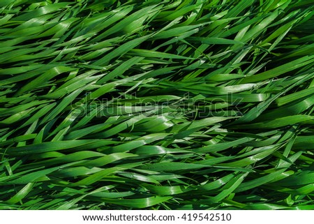 the texture of the long grass on top viewed top down - stock photo