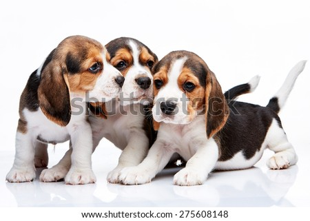 The three beagle puppies lying on the white background - stock photo