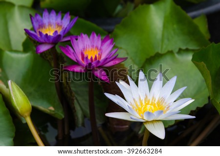 The three color lotus - stock photo
