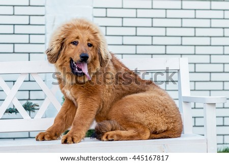 The Tibetan Mastiff. Puppy sits on the chair.