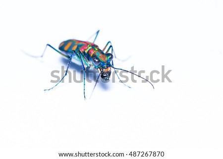 The tiger beetle bug on the white background