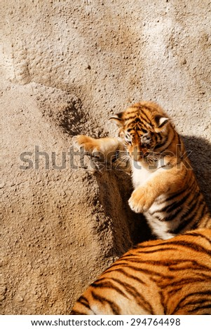 The tiger cub while climbing wall - sunny photo - stock photo