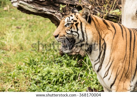 The Tiger is fierce and wild animals. - stock photo