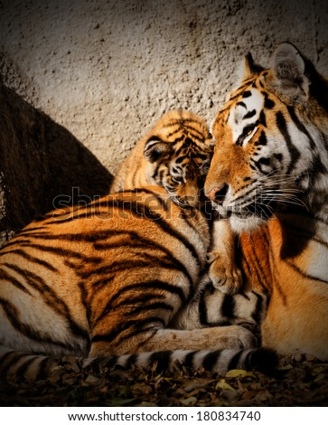 The tiger mum in the zoo with her tiger cub - sunny photo - stock photo