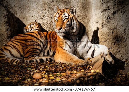 The tiger mum in the zoo with her tiger cub - sunny photo