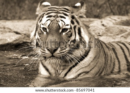 "The tiger Panthera tigris a member of the Felidae family, is the largest of the four ""big cats"" in the genus Panthera. The tiger is native to much of eastern and southern Asia, and is an apex predato - stock photo"