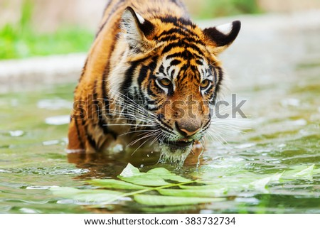 The Tigers are playing hot water to loosen. - stock photo