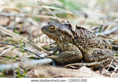 The toad who has woken up after hibernation - stock photo