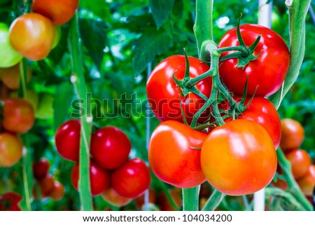 The tomatoes are ripe and ready for the harvest - stock photo