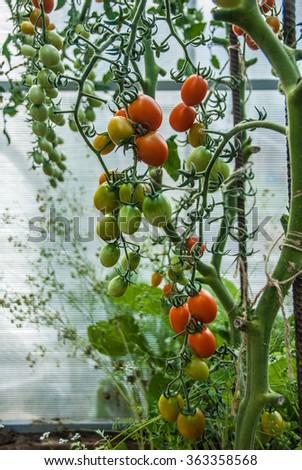 The Tomatoes. Greenhouse plants