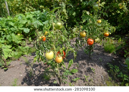 The tomatoes growing in an open ground - stock photo
