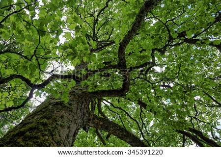 The top of an old green tree. - stock photo