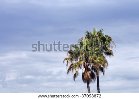 The tops of palm trees against a stormy sky. - stock photo