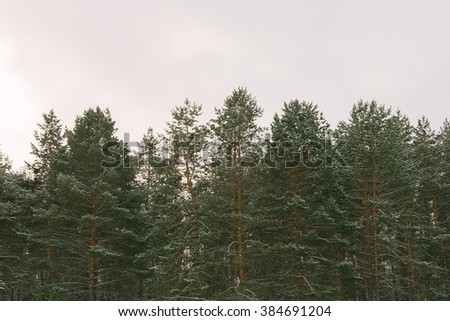 The tops of pine trees in snow - stock photo