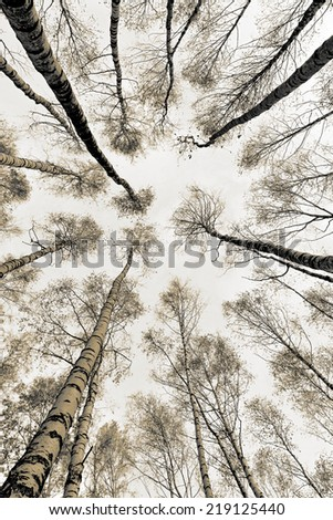 The tops of the birch trees against of the sky (stylized retro) - stock photo