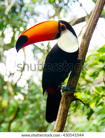 The toucan Toco sitting on a branch of the tree. Also known as the common toucan or toucan, It is found in large part of central and eastern South America. - stock photo