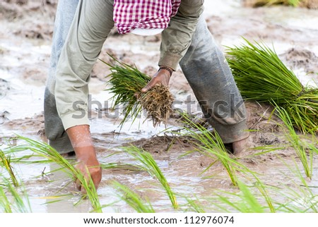 The traditional hand method of cultivating rice is practiced in Cambodia - stock photo