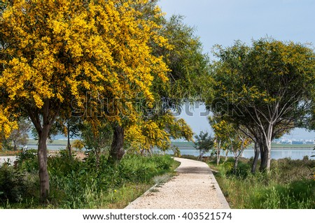 The trail along the lake past the flowering mimosa trees. Cyprus - stock photo