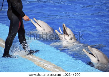 the trainer is giving a bit of fish to the dolphins for their good work in the show - stock photo