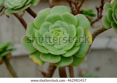 The tree aeonium, also known as tree houseleek or Irish rose.