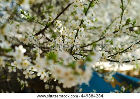 The tree bloomed, white petals. Beautiful blooming background of a blossoming tree buds. - stock photo