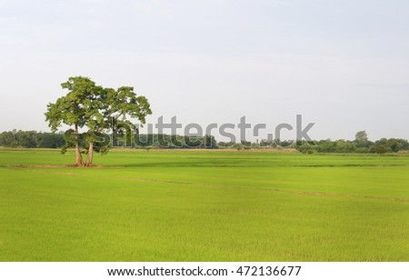 The tree featured on paddy rice