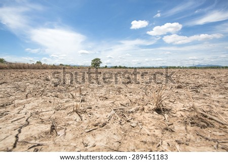 The tree in dry rice field after harvest with blue sky background at lampoon thailand in noon sun light