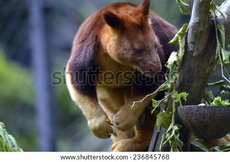 the tree kangaroo is looking for food in his food bowl - stock photo