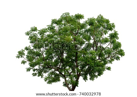 The tree on white background with clipping path.