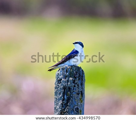 The tree swallow is a migratory passerine bird that breeds in North America and winters in Mexico, Central America and the Caribbean. It is a very rare vagrant to western Europe.  - stock photo