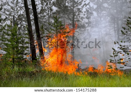 The trees burning in forest fire - stock photo