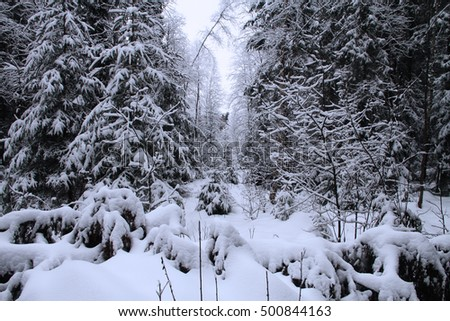 The trees in the forest covered with snow.