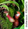 The Tropical pitcher plant (nepenthes) - stock photo