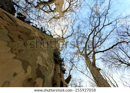 The trunk and textured bark of a large deciduous tree in winter - stock photo