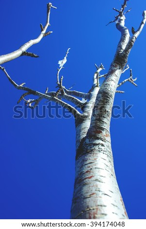 The trunk and the tops of the trees without leaves on a background of blue sky in the spring sunshine