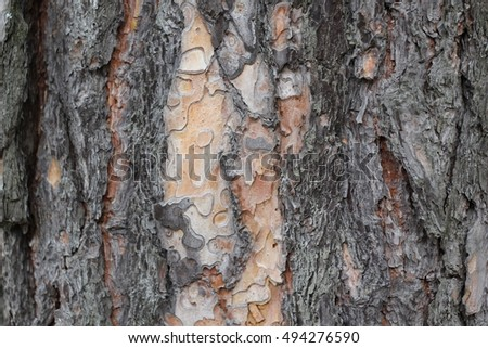 The trunk of a pine closeup