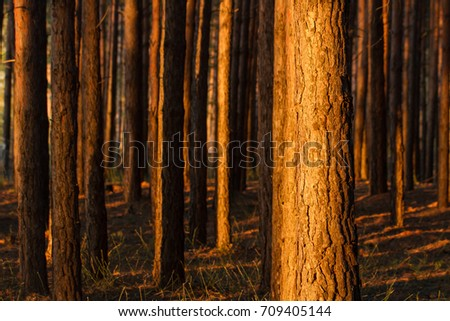 The trunks of the pines in the rays of the setting sun. Tree trunks background. Structure of a pine grove.