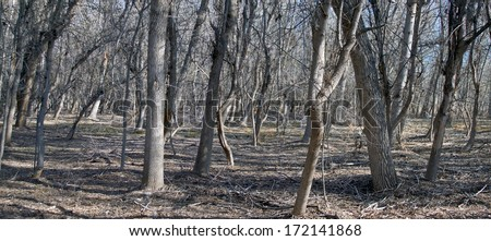 The trunks of trees in the woods in early spring - stock photo
