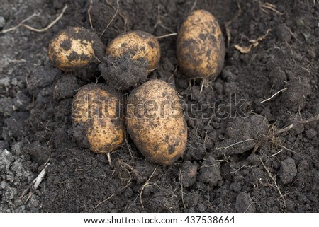 The tubers of potatoes lying in the ground - stock photo