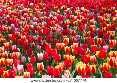 the tulip river in the royal park Keukenhof. - stock photo