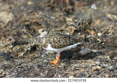 The Turnstone sits on the silted coast in a sunny weather - stock photo