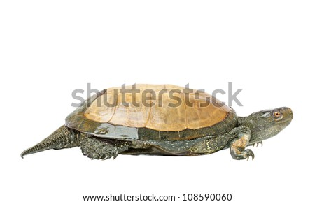 the turtle (European pond turtle) isolated on a white background
