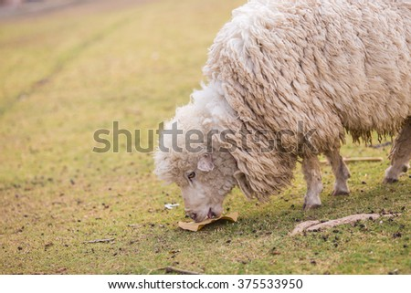 The two white sheep eating