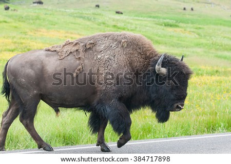 The typical American Bison on the road in the Yellowstone National Park, USA - stock photo