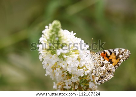 The underside view of a Painted Lady (Vanessa cardui ) Butterfly on a Butterfly Bush (Buddleja davidii). - stock photo