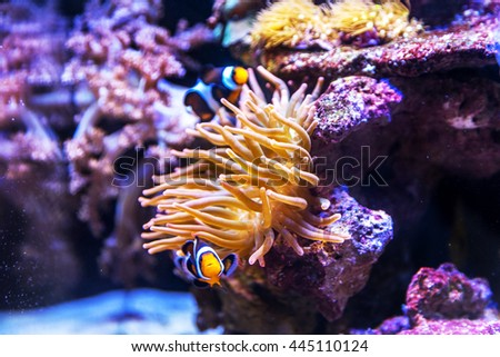 The underwater world. Bright Exotic Tropical coral fish in the Red Sea artificial environment of the aquarium with corals and algae aquatic plants - stock photo