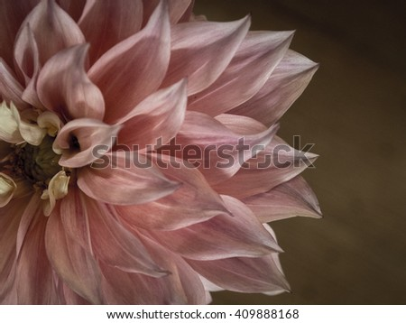 The unfurling of the petals of a delicate and dainty dahlia is a beautiful sight.The draw card of the Dahlia is it's many layered petals drawing the viewers eye to its increasingly busy centre.  - stock photo